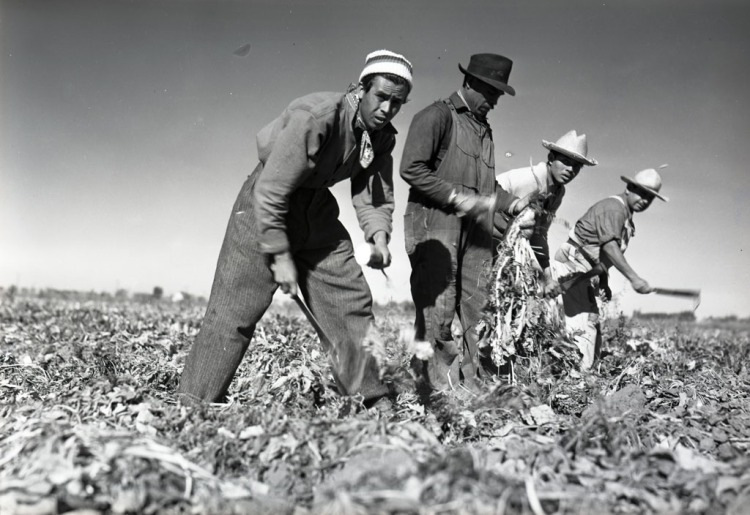 four_mexican_workers_harvesting_sugar_beets_1942.jpg